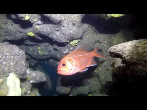 Bight Redfish Aka Red Snapper.