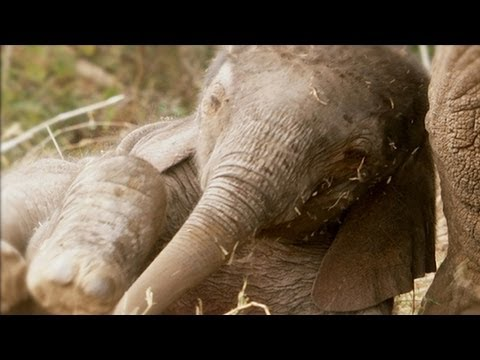 Even baby elephants are big! - Amazing Animal Babies: African Elephant (Ep 3) - Earth Unplugged