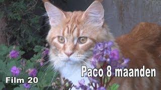 Maine Coon Paco 8 maanden - Film 20 - Zang Joyce Lemmens