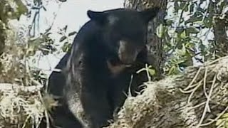 Bear Attack: Orlando Mother Mauled