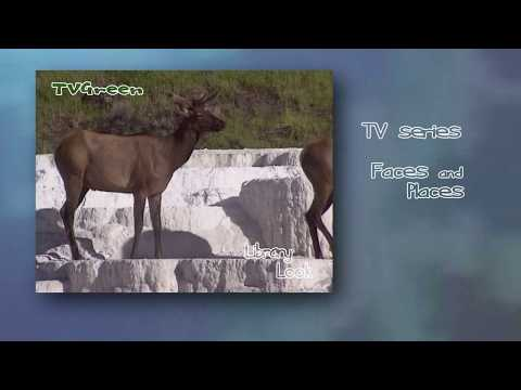 FaunaView: Yellowstone  - Elk & Bighorn Encounters