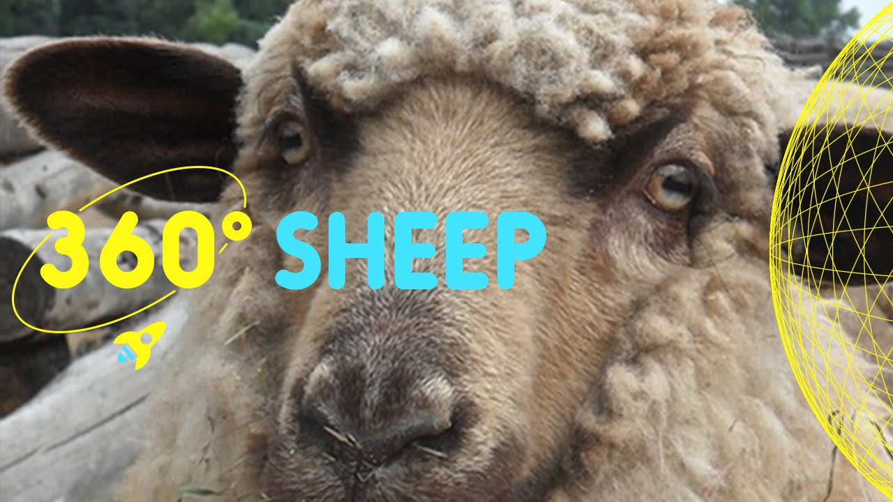 Sheep in Kentish Town Farm | 360 Degrees for Kids