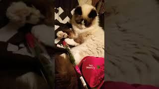 Funny Cat~My Valentine