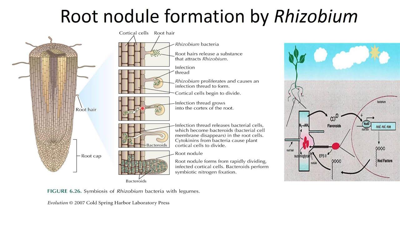 relationship between legumes rhizobium japonicum