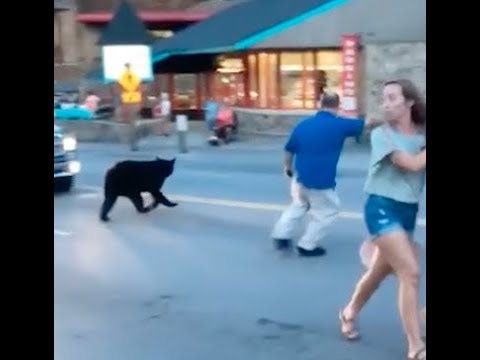 Bear runs through downtown Gatlinburg
