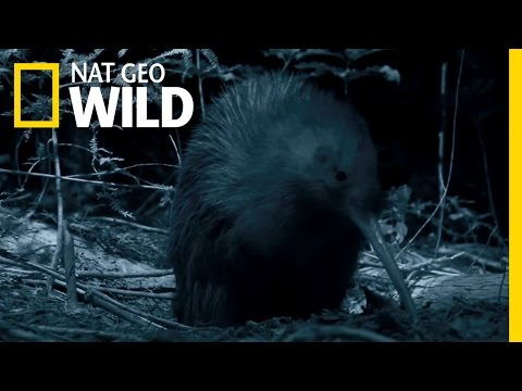 New Zealand's Most Famous Bird | Wild New Zealand
