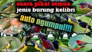suara pikat semua jenis burung Kolibri
