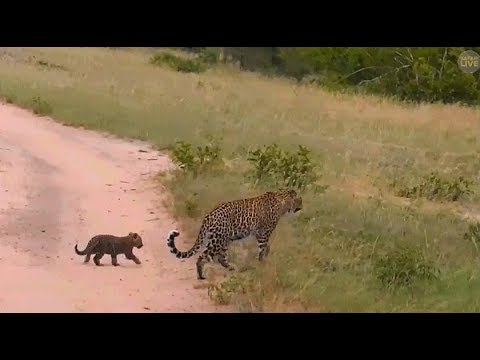 Safari Live : Thandi Female Leopard with her Cub on drive this morning Jan 16, 2018