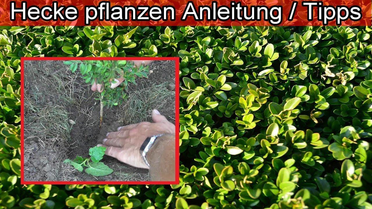 Hecke Selber Pflanzen Anleitung Tipps Hecke Anlegen Im Garten
