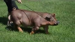 Lights Out Duroc Purchase from Jackson Showpigs