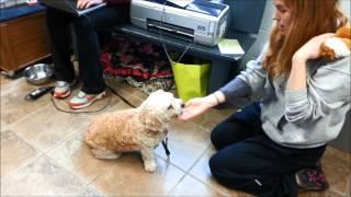 Meet Princess A Spaniel American Cocker Currently Available For Adoption At Petango.com! 4/3/2015 6