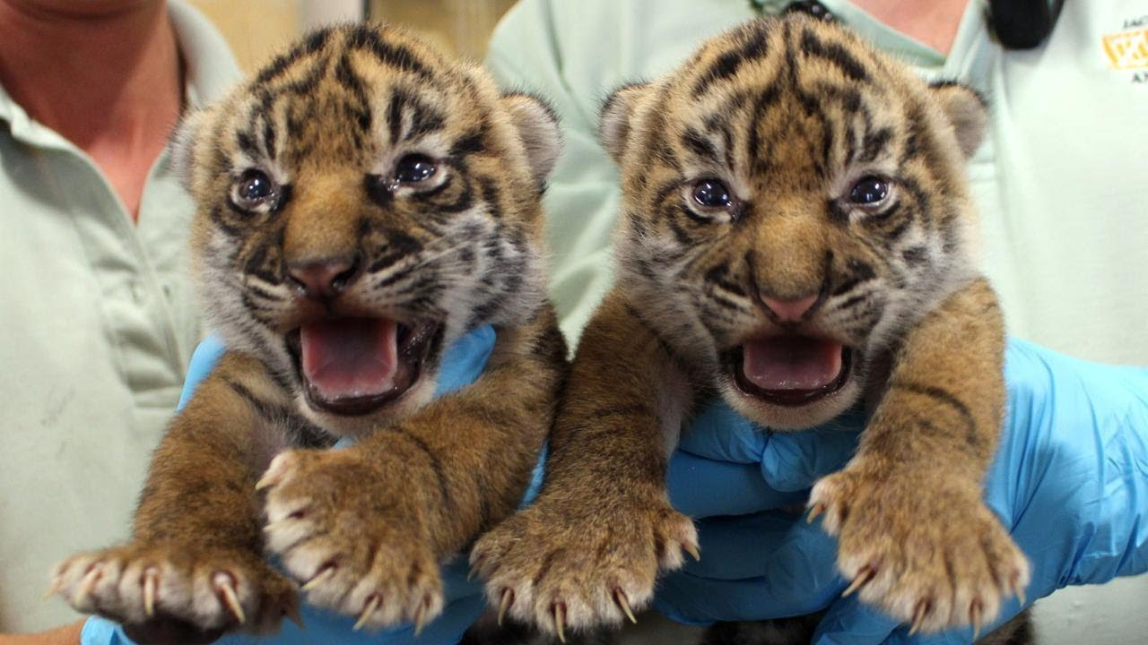 Adorable Rare Twin Tiger Cubs Must Take Swim Test Before