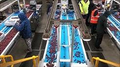 GP Graders - 20 Lane Airjet Cherry Defect Grading Line - Wandin Valley Farms