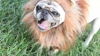 Смешные видео про мопсов pug videos funny