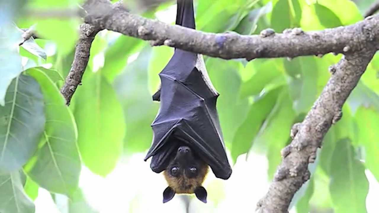 true facts about the fruit bat youtube