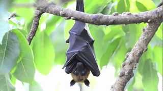 True Facts About The Fruit Bat thumbnail