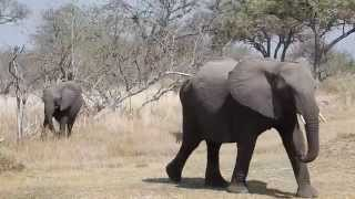 Botswana Elephant Attacks Tourists during Safari