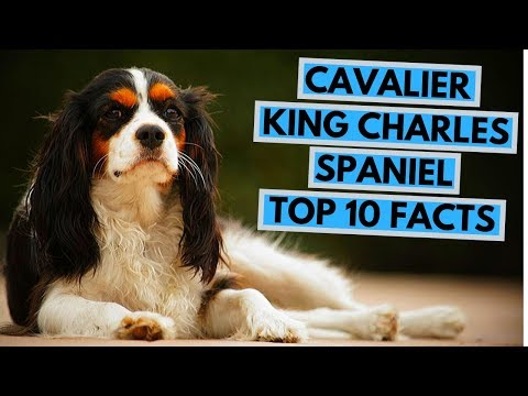 Cavalier King Charles Spaniel  TOP 10 Intereseting Facts