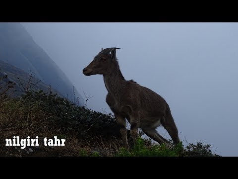 The Nilgiri Tahr, endemic to Western Ghats