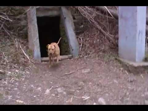 hybrid dingo takes another victim at kelpius cave