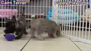 Cairn Terrier, Puppies, For, Sale, In, New Orleans, Louisiana, La, Jefferson, Bayou Blue, Moss Bluff