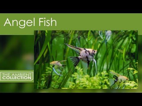 Aquarium Dvd Angel Fish From The Aquarium Dvd South American Aquariums Youtube