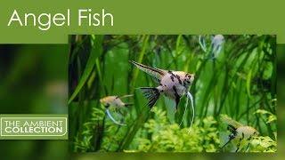 Aquarium DVD: Angel Fish From The Aquarium DVD South American Aquariums