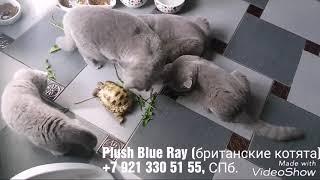 Британские котята и черепашка.