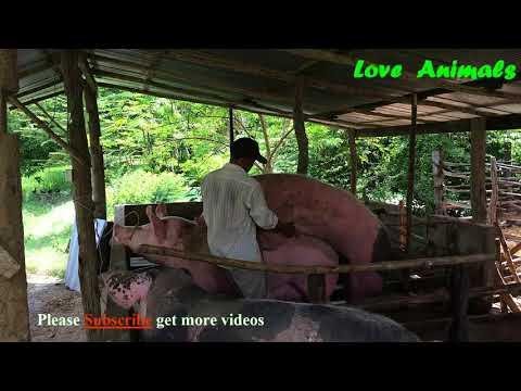 ការបង្កាត់មេជ្រូកតាមបែបធម្មជាតិ - How to breeding natural pig   Love Animal