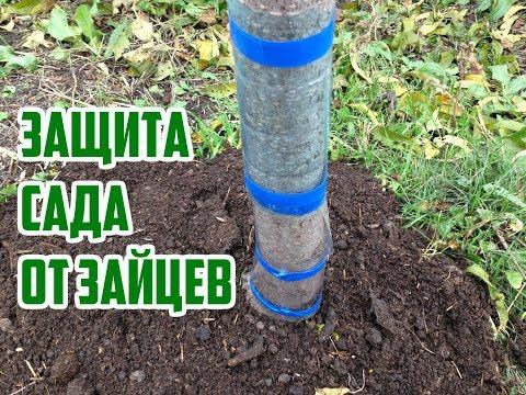 Зайцы в саду: как спасти деревья  / Спасаем деревья от зайцев /Защита деревьев от зайцев зимой