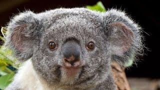 ТОП 5 Лучшие видео про коал. Милая и смешная коала.