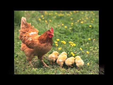 Một số hình ảnh về con gà