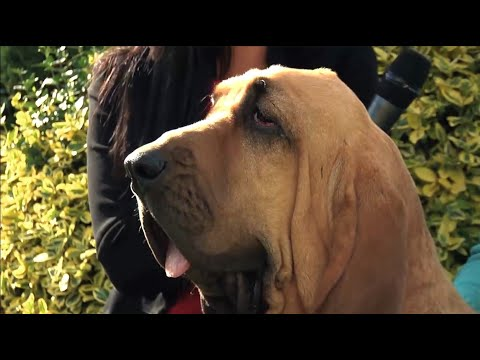 The Bloodhound - Bests of Breed