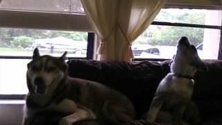 Siberian Husky And Australian Shepherd Howling Together