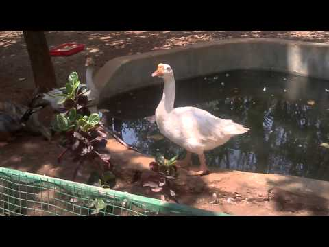 Arayannam, flying duck , duck in Kannur Parassinikkadavu snake park