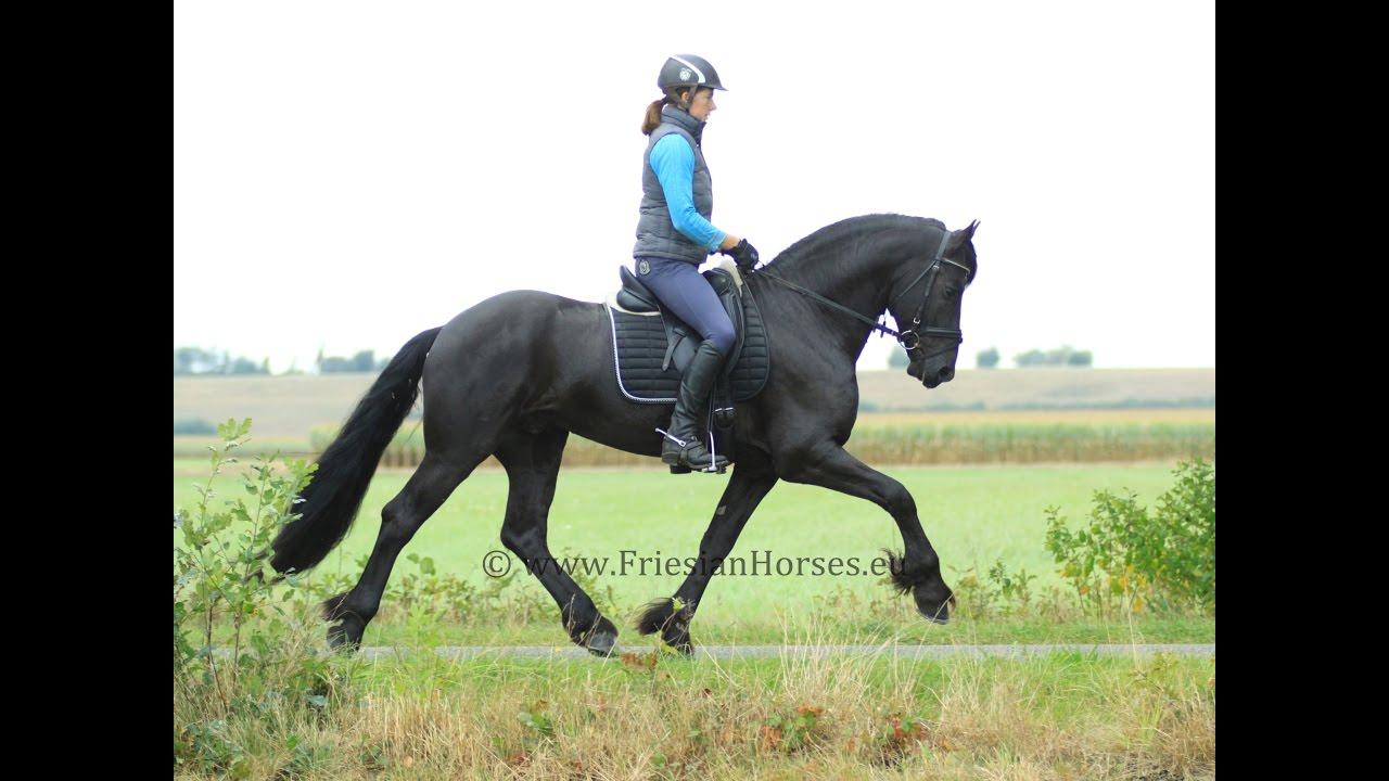 Friesian STALLION - (For Sale) a big size, black Friesian horse