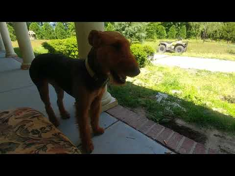 Don't Be Scared Of Me With Jessie Mae The Airedale Terrier Om May 15, 2019