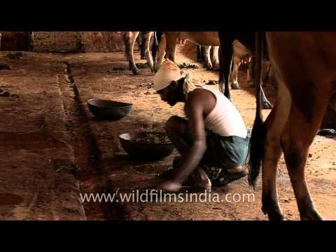 Cleaning cow shed at Go-vigyan Anusandhan Kendra, Nagpur