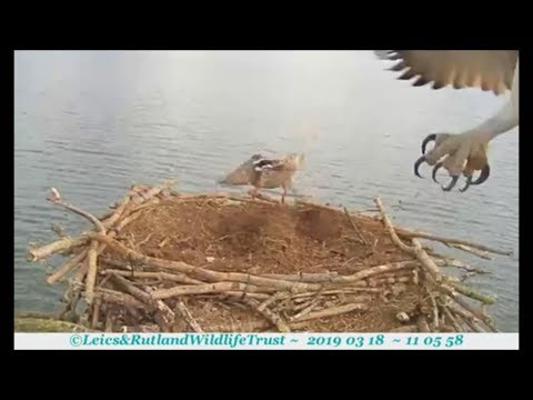 Duck is not allowed on Mayas nest !!! ~ ©Rutlland Osprey Project