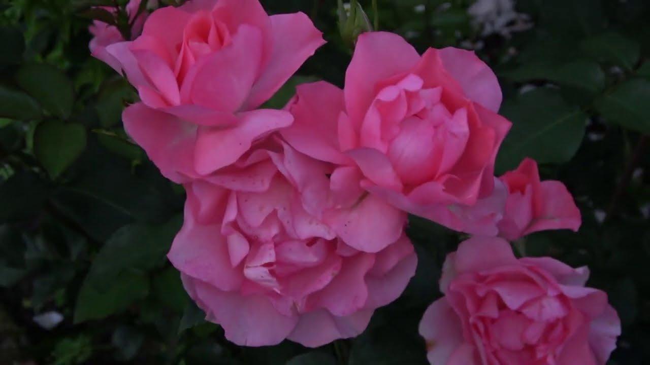 Розы непрерывного цветения