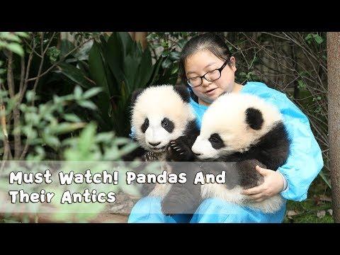 Must Watch 4 ! Pandas And Their Antics | iPanda