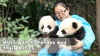 Must Watch 4 ! Pandas And Their Antics | iPanda