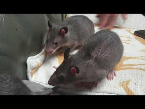 3 Beautiful Bouncy Gambian Pouched Rat Babies