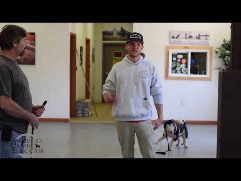 Leave it command training (Full Lesson)  - America's Canine Educator