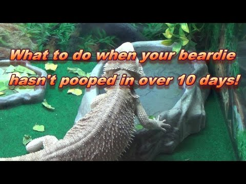 What To Do If Your Bearded Dragon Doesn't Poop For Over 10 Days!!