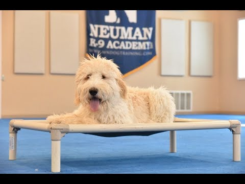 Norman (Goldendoodle) Puppy Camp Dog Training Video Demonstration