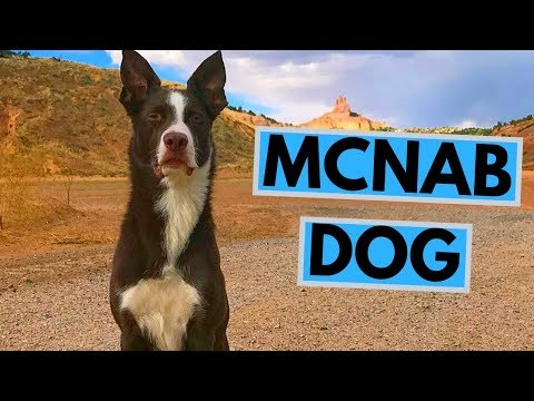 McNab Dog Breed - Facts and Information