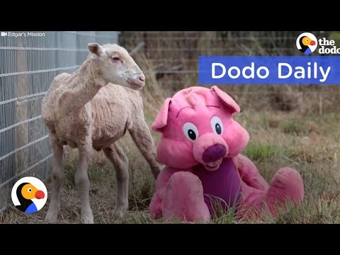 Lonely Sheep's Only Friend Was a Teddy Bear: Best Animal Videos | The Dodo Daily