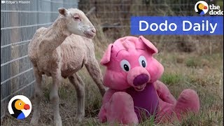 Lonely Sheep's Only Friend Was a Teddy Bear: Best Animal Videos | The Dodo Daily thumbnail