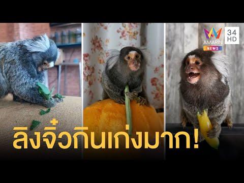 ลิงมาโมเสท ลิงเล็กที่สุดในโลกกินไม่เลือก ลูกชุบข้าวเหนียวก็กิน